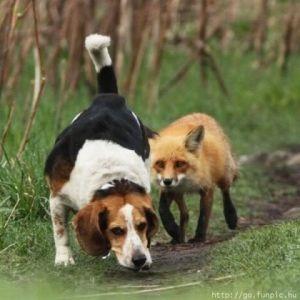 beagleandfox